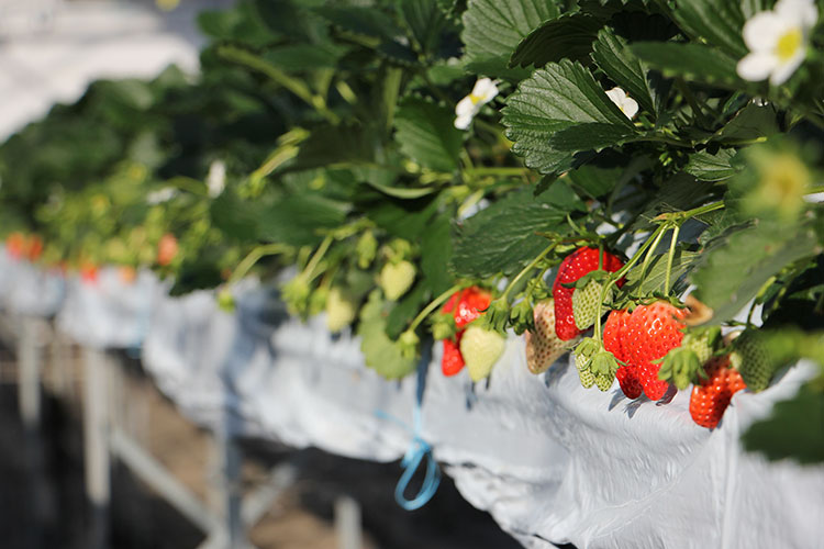 strawberry-farm-161219-1