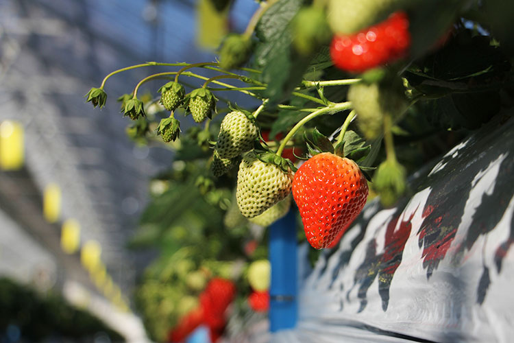 strawberry-farm-161219-3