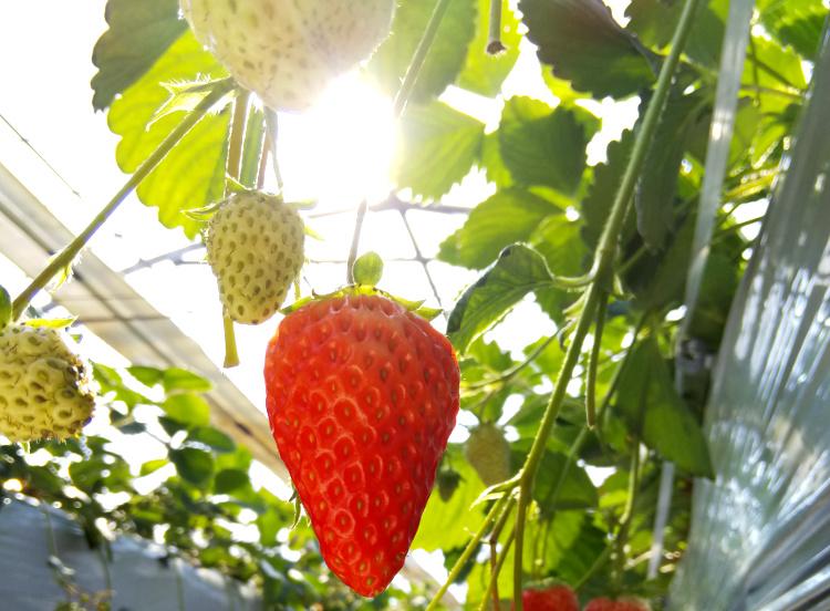 暖かい日差しとイチゴ
